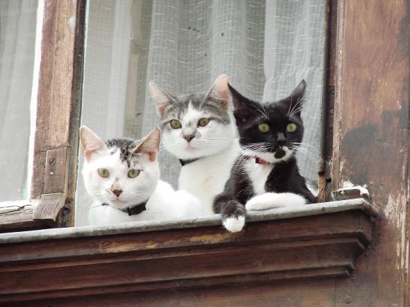 Trio de chats dans le Vieux Lille