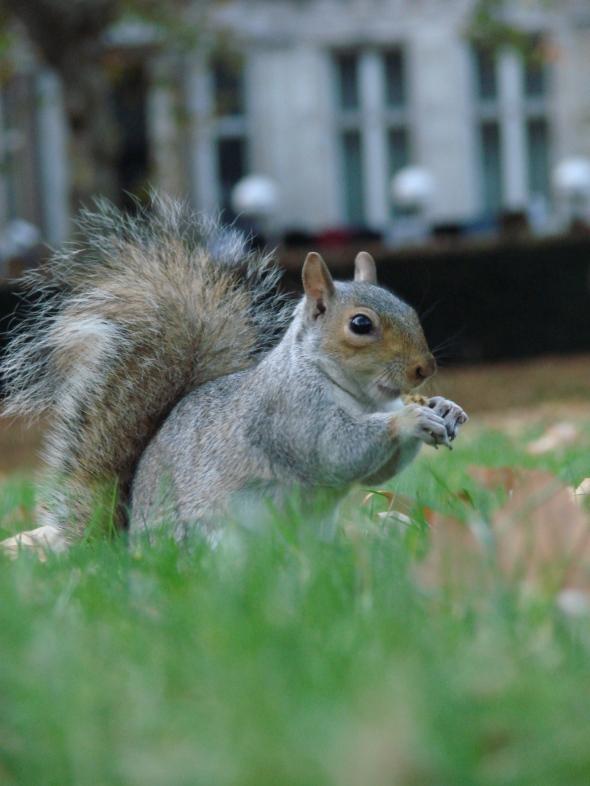 L'écureuil londonien est vorace !