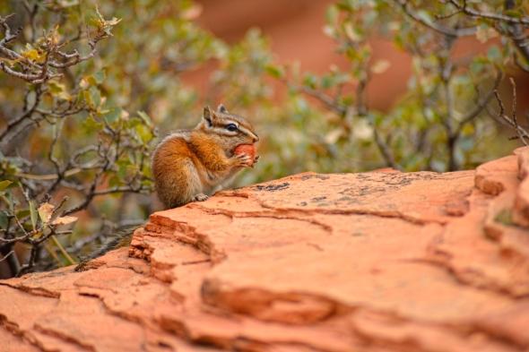 Chipmunk Tamia USA - Etats-Unis - rongeur parcs nationaux