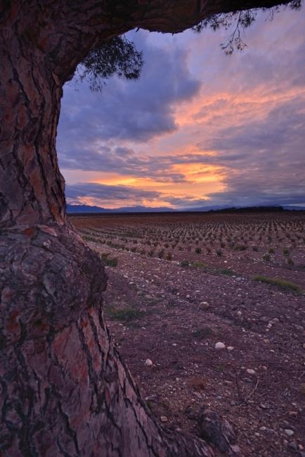 Je vous ai déjà parlé des ciels du Roussillon, cette plaine entourée de montagnes et balayée par les vents, à la luminosité incomparable. Lorsque les nuages, hauts dans les cieux, laissent filtrer la lumière d'un coucher de soleil, le paysage prend des couleurs hallucinantes. Et un filtre dégradé suffit à peine à en retranscrire toute la dynamique, sous les épaisses branches d'un pin centenaire, au coeur du vignoble de l'Esparrou.