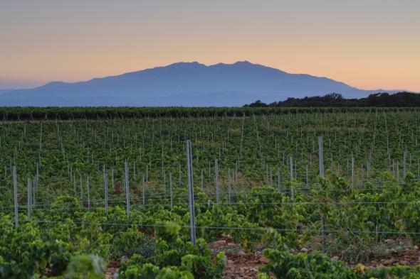 Canigou et vignes soleil couchant